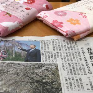 滝桜 開花